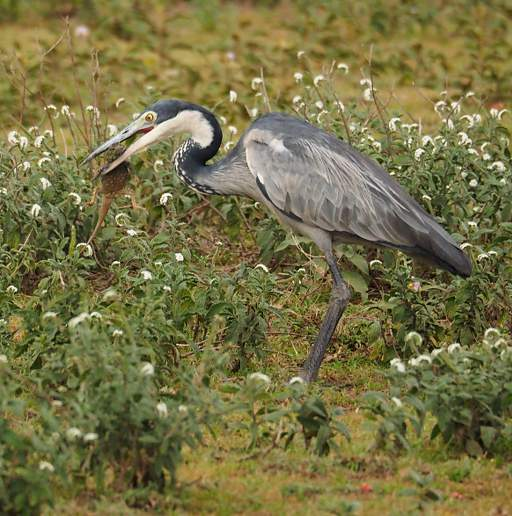 Black headed heron - photo#16
